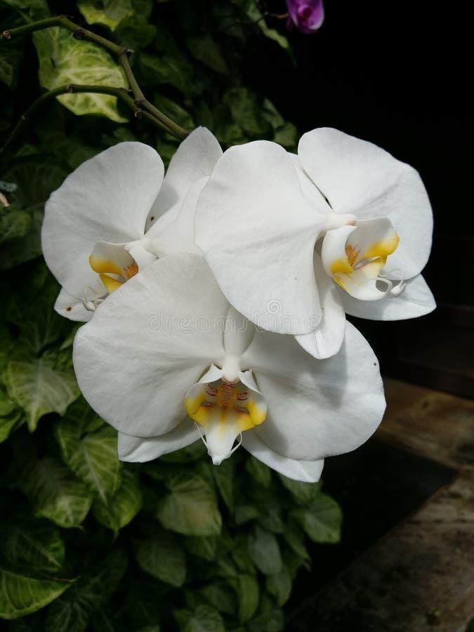Phalaenopsis Blume arkivfoto