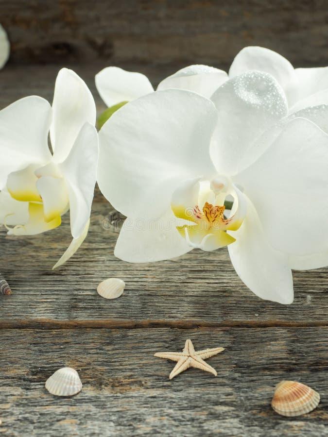 Phalaenopsis branco da orquídea em uma concha do mar de madeira do fundo fotos de stock royalty free