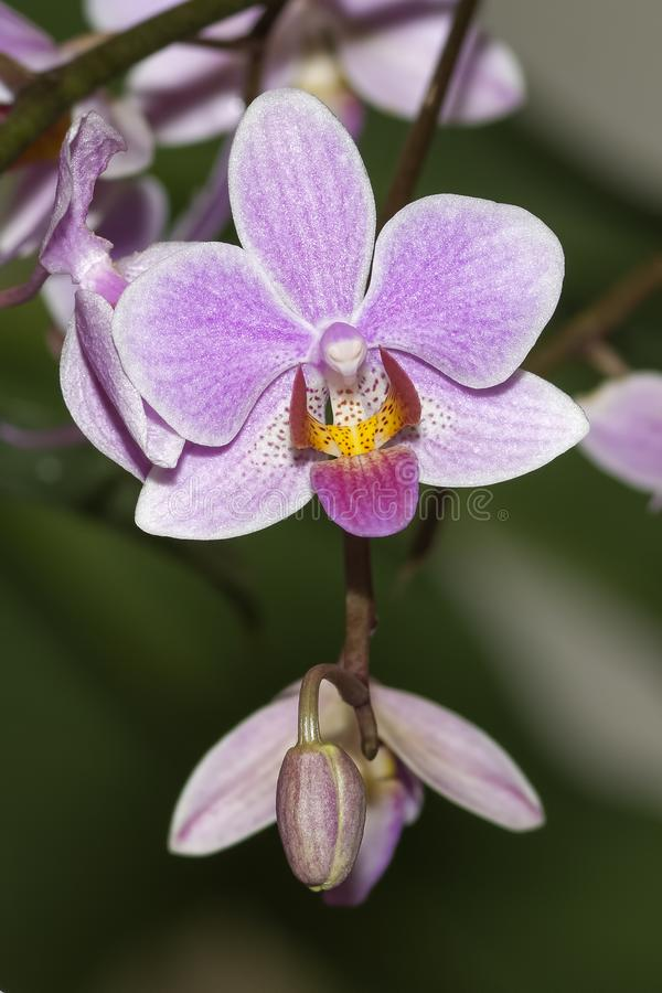 Phalaenopsis Carolina Tiny Phil imagens de stock