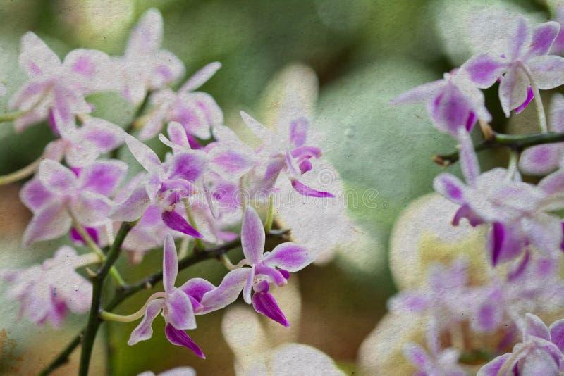 Phalaenopsis cor-de-rosa da orquídea foto de stock