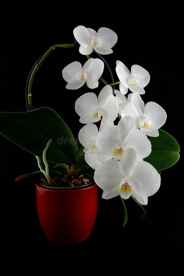 Phalaenopsis d'orchidée avec les fleurs blanches sur le fond foncé photos stock