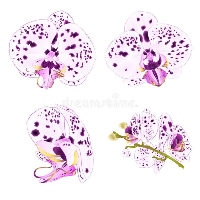 Phalaenopsis d'orchidées avec des points pourpres et tiers d'ensemble d'isolement par fleur blanche de plan rapproché belle sur u illustration stock