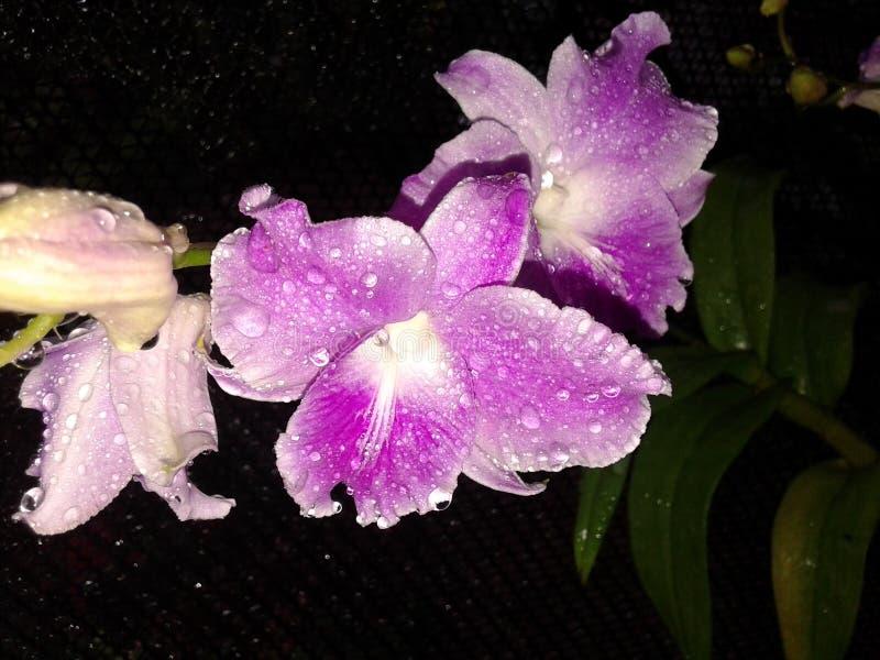 Phalaenopsis de la orquídea imagenes de archivo