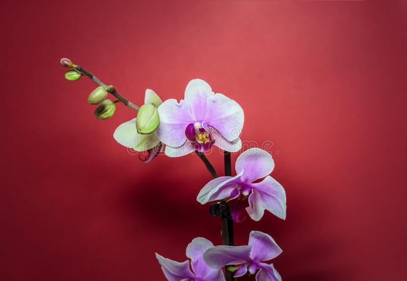 Phalaenopsis de la orquídea Flores rosadas de la orquídea en fondo rojo fotos de archivo libres de regalías