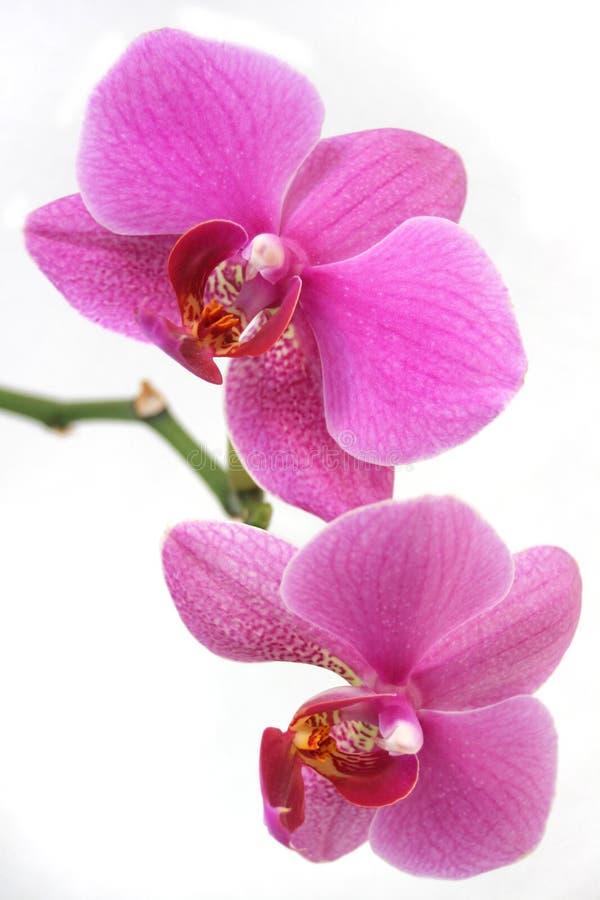 Phalaenopsis de la púrpura de la orquídea imagen de archivo