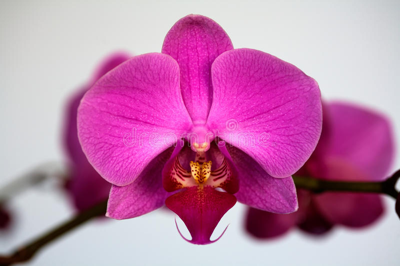 Phalaenopsis dell'orchidea immagine stock
