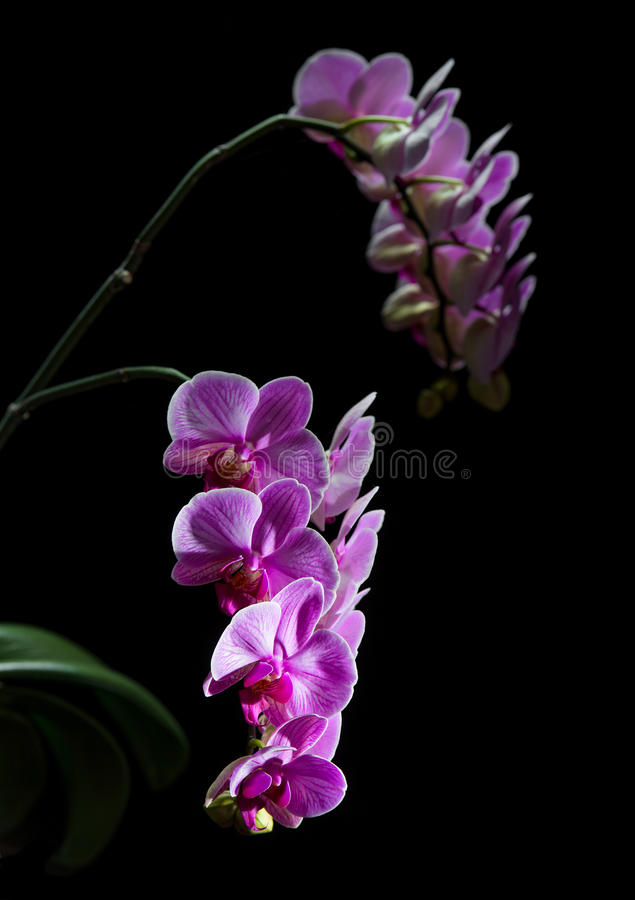 Phalaenopsis. Färgrik rosa orkidé