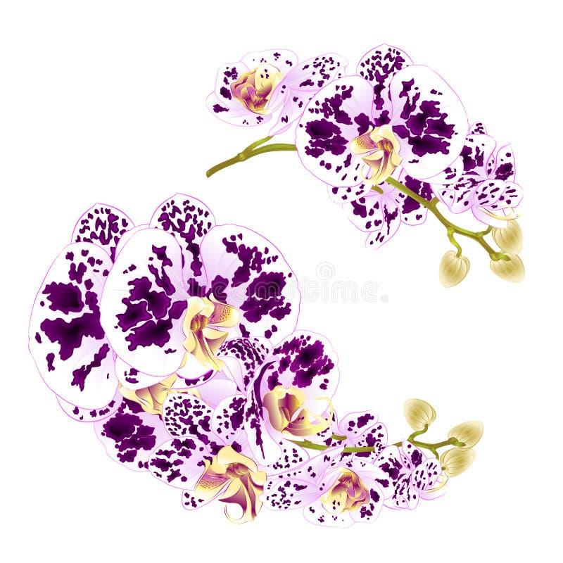 Phalaenopsis för tropisk växt för blommor för filialorkidér prickig på en botanisk illustrat för vit för bakgrundsuppsättning fyr stock illustrationer