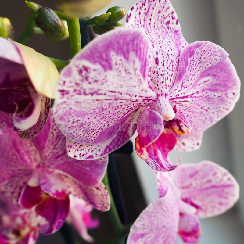 Phalaenopsis Fuoco selettivo, spazio di permesso per l'aggiunta del testo fotografie stock