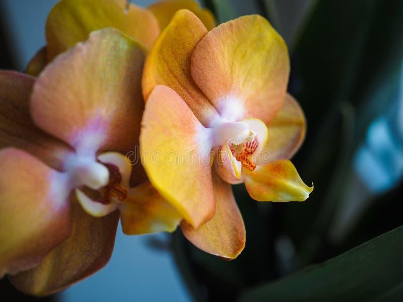 Phalaenopsis Fuoco selettivo, spazio di permesso per l'aggiunta del testo immagini stock