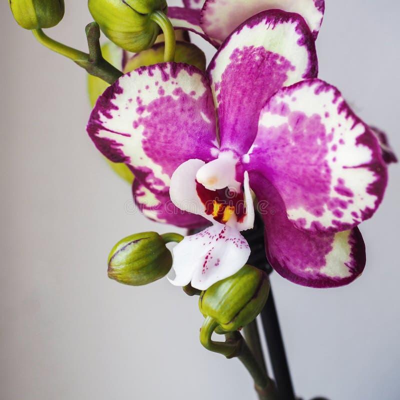 Phalaenopsis Fuoco selettivo, spazio di permesso per l'aggiunta del testo fotografia stock