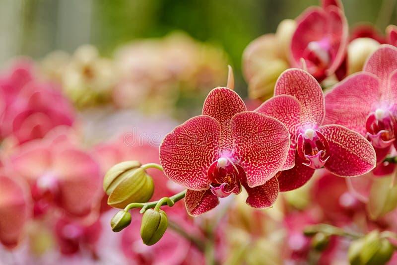 Phalaenopsis härlig röd blommablom fotografering för bildbyråer
