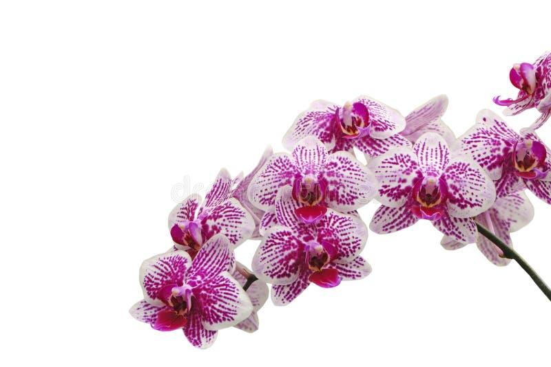 Phalaenopsis hybird zdjęcie stock