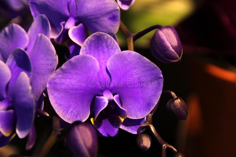 Phalaenopsis hybrid bluish purple stock photo