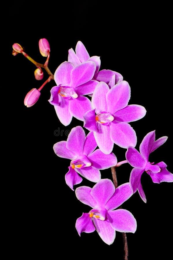 Phalaenopsis hybryd zdjęcia royalty free