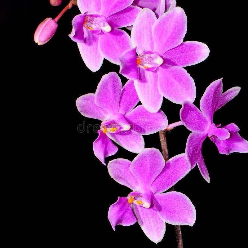 Phalaenopsis hybryd obrazy stock