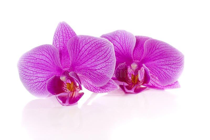 Phalaenopsis kwiaty zdjęcia royalty free