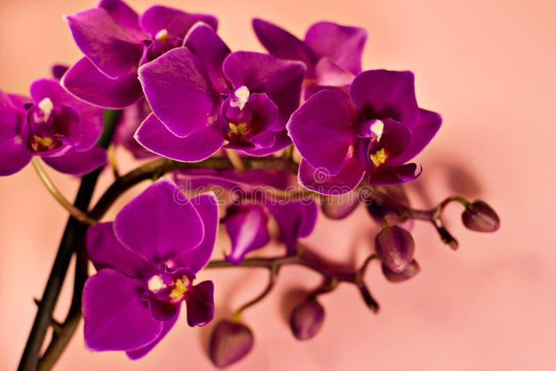 Phalaenopsis purple purple closeup inflorescence on a pink background stock photos