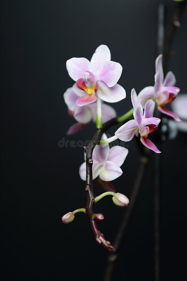 Phalaenopsis orchid royalty free stock photos