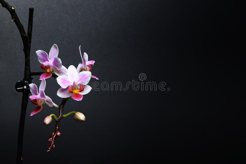 Phalaenopsis orchid royalty free stock images