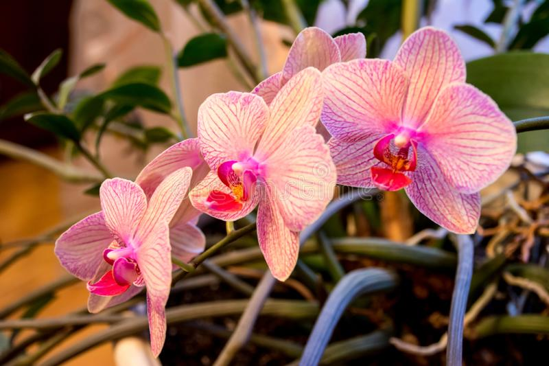 Phalaenopsis Orchid flower, Orchids is the queen of flowers in Thailand stock photo