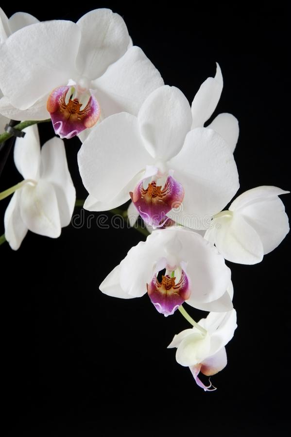 Phalaenopsis orchid. Phalaenopsis is the latin gender of this orchid isolated over black background royalty free stock photos