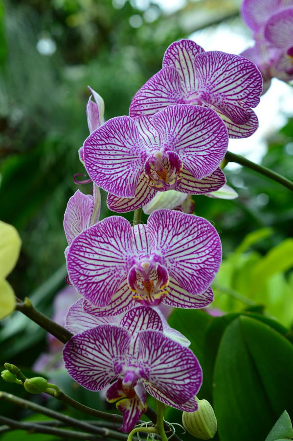 Download Phalaenopsis Orchid At 2015 Orchid Show Stock Photo   Image:  55665788