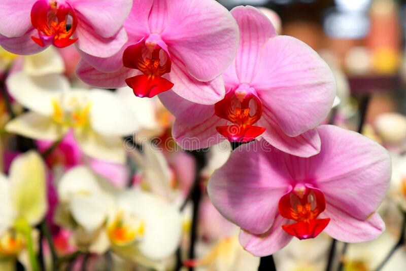 Phalaenopsis Orchid pink flowers in the store. Potted orchidea. Many flowering plants, nature floral background. Beautiful flowers. At greenhouse royalty free stock image