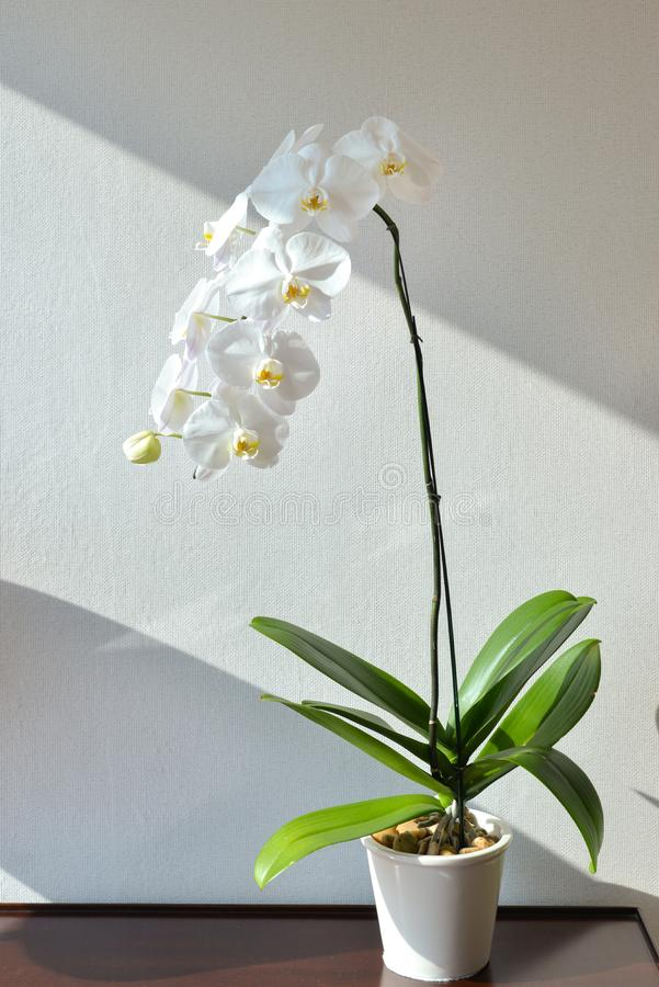 Phalaenopsis orchid by the window royalty free stock photos