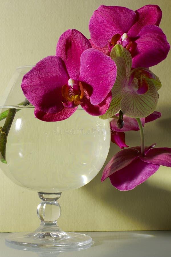 Phalaenopsis orchidea fotografia stock