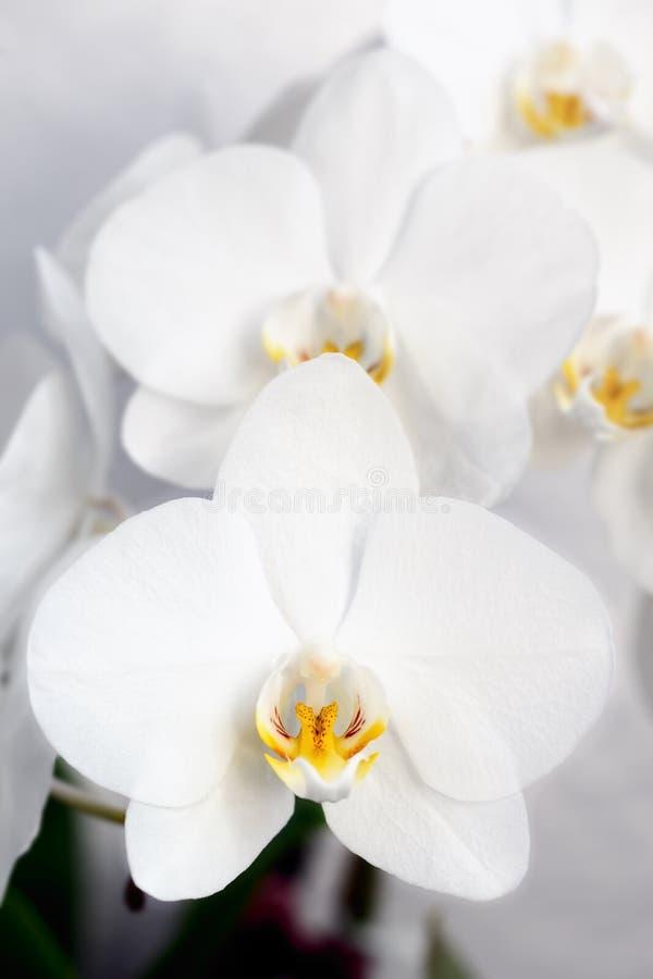 Phalaenopsis, Orchidee stock foto