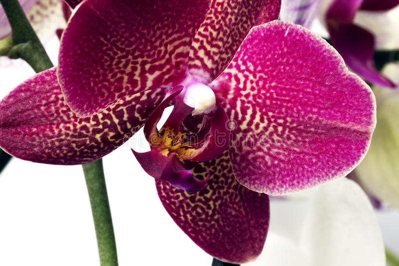 Phalaenopsis orchidee na białym tle zdjęcia stock