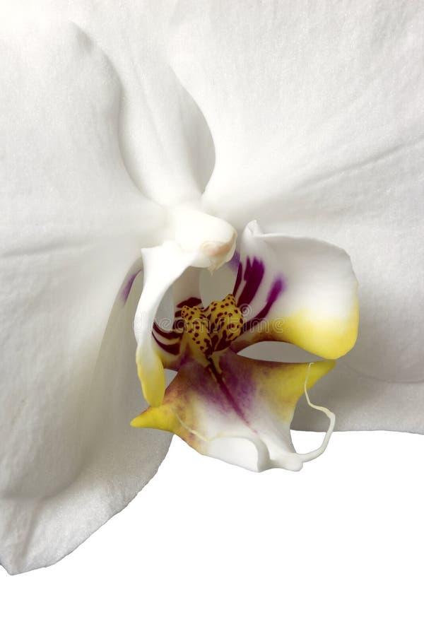 Phalaenopsis orchidee na białym tle zdjęcie stock
