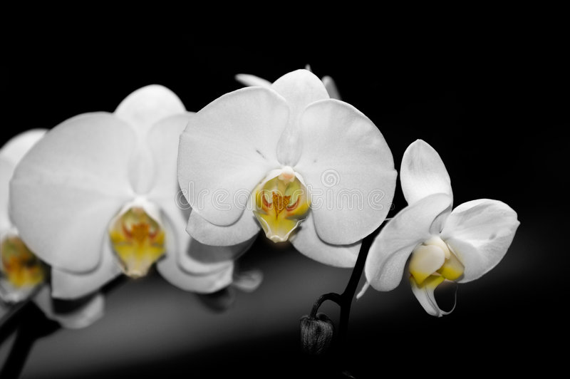 Phalaenopsis-Orchideen lizenzfreie stockfotografie