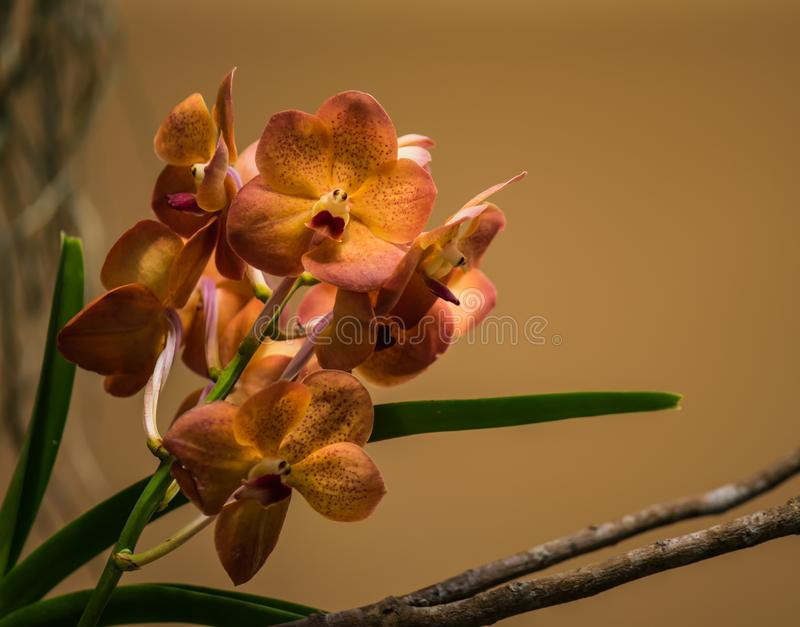 Phalaenopsis orchids blooming. royalty free stock photos