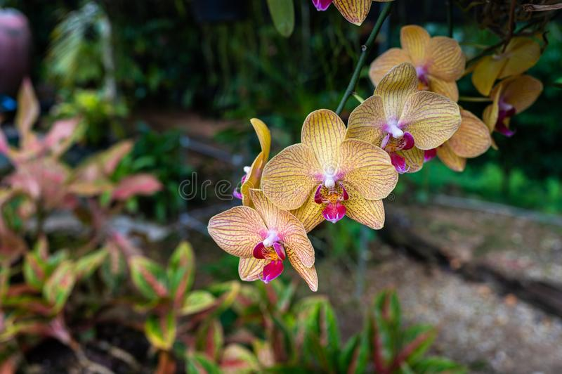 Phalaenopsis Orchids flowers royalty free stock photo
