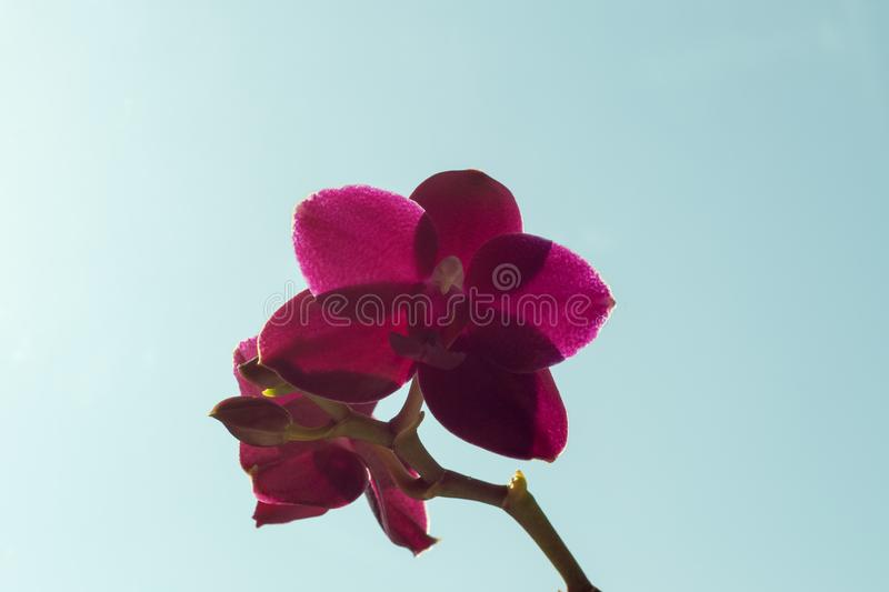 Phalaenopsis orchids Sogo Relex close-up against the sky stock image