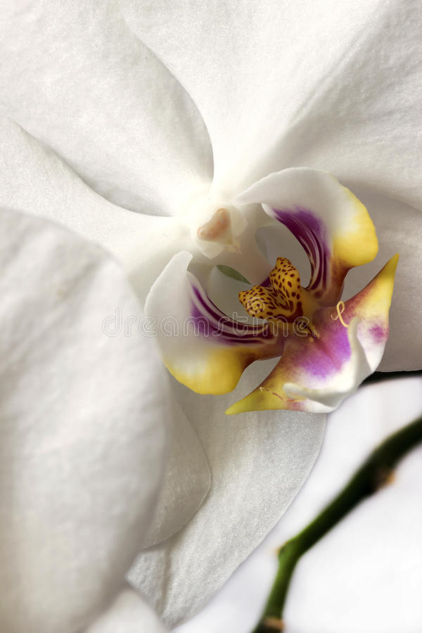 Phalaenopsis orchids on white background. royalty free stock image