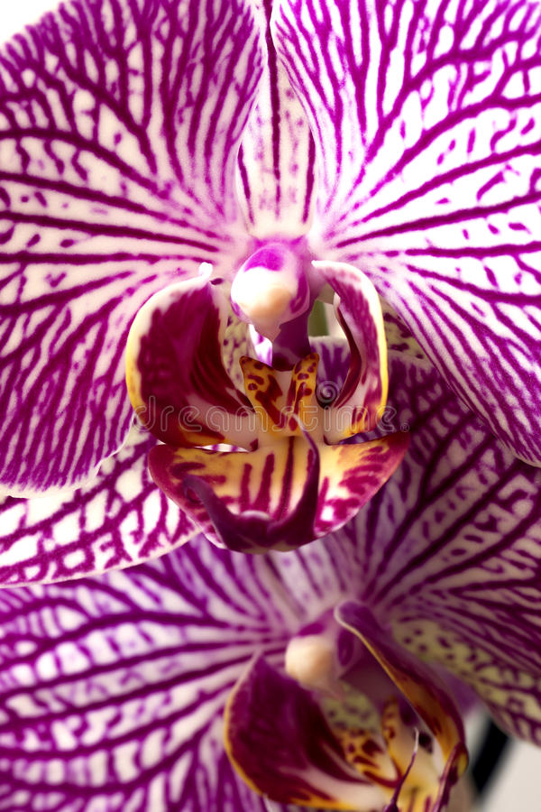 Phalaenopsis orchids on white background. stock photography