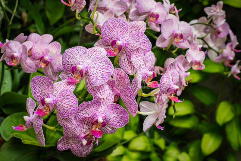 Phalaenopsis orkidé fotografering för bildbyråer