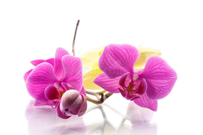 Phalaenopsis purple royalty free stock photo