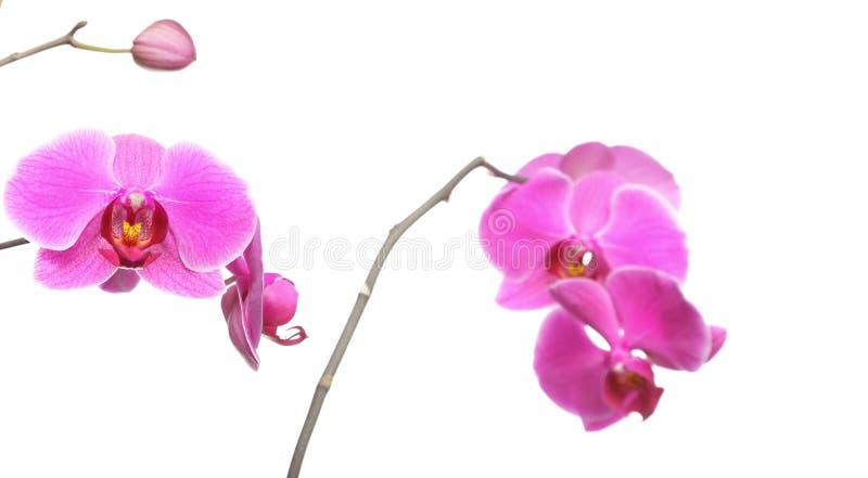 Phalaenopsis purpur white för bakgrundsorchid royaltyfria bilder