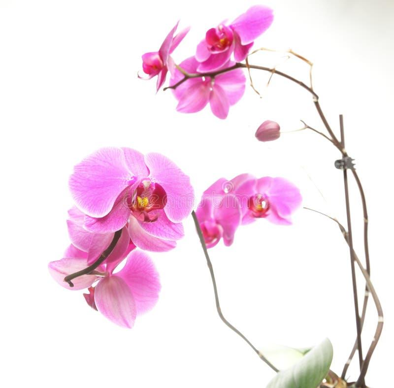 Phalaenopsis purpur white för bakgrundsorchid arkivbilder