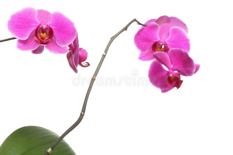Phalaenopsis. Purpurfärgad orkidé på vit bakgrund fotografering för bildbyråer