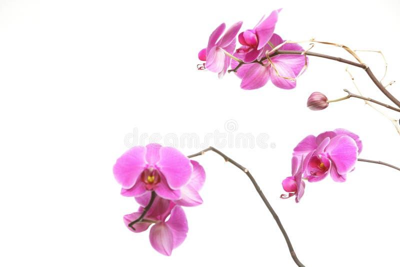 Phalaenopsis. Purpurfärgad orkidé på vit bakgrund royaltyfri fotografi