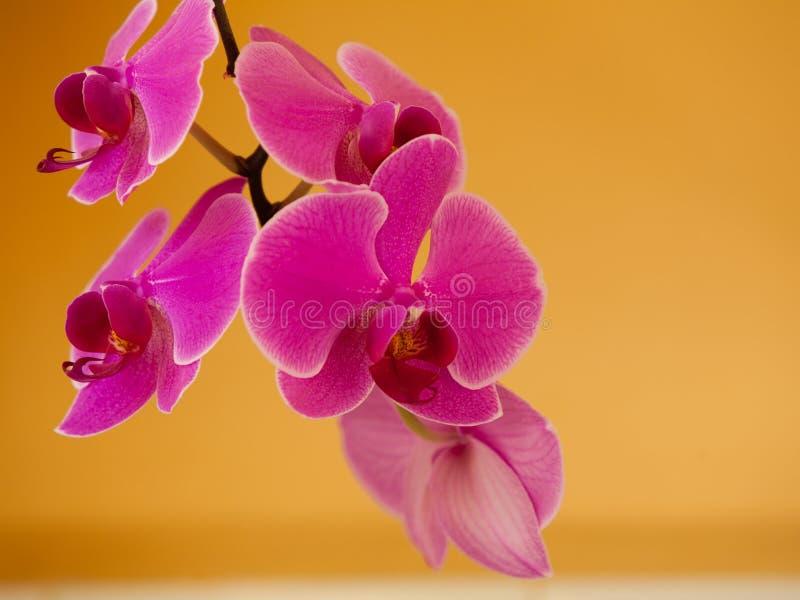Phalaenopsis Rosa purpurfärgad orkidéblomma inomhus arkivbild