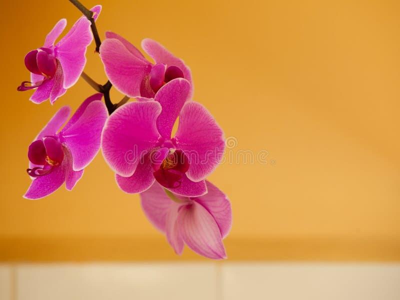 Phalaenopsis Rosa purpurfärgad orkidéblomma inomhus arkivbilder