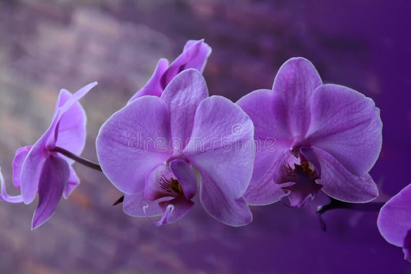 Phalaenopsis sbocciante dell'orchidea fotografia stock libera da diritti