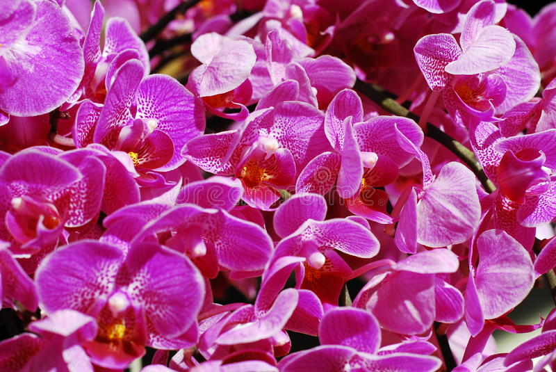 Download Phalaenopsis stock image. Image of flower, moth, stain - 39512363