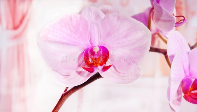 Phalaenopsis van de orchidee stock afbeeldingen
